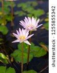 beautiful lotus blossoming in... | Shutterstock . vector #1255855342