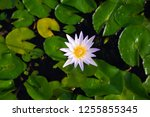 beautiful lotus blossoming in... | Shutterstock . vector #1255855345