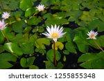 beautiful lotus blossoming in... | Shutterstock . vector #1255855348
