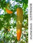 young bitter gourd hang on... | Shutterstock . vector #1255983658
