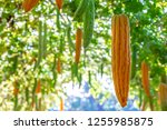 young bitter gourd hang on... | Shutterstock . vector #1255985875