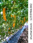 young bitter gourd hang on... | Shutterstock . vector #1255986382