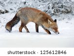 Red Fox Searching For Food In...