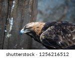head of a golden eagle close up ... | Shutterstock . vector #1256216512