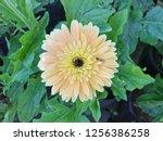 Yellow Gerbera Flower Blooming...