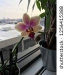 pink yellow white orchid indoor ...   Shutterstock . vector #1256415388