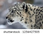 Snow Leopard In Zoo
