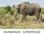 saw this elephant while... | Shutterstock . vector #1256451622