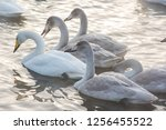 beautiful white whooping swans...   Shutterstock . vector #1256455522