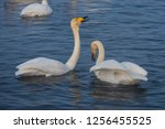 beautiful white whooping swans...   Shutterstock . vector #1256455525