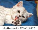 Soft British Cat With Orange...