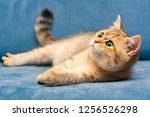 A Young Golden British Cat With ...