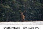 Graceful Deer Stag   Adult Male ...