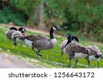 Group Of Canada Geese  Branta...