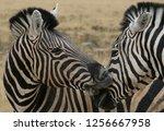 two zebra nuzzling | Shutterstock . vector #1256667958