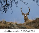 Trophy Buck, Mule Deer Hunting Colorado Utah Montana Idaho Washington Wyoming California Nevada Arizona New Mexico big game - stock photo