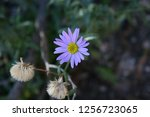 a close up of a small purple... | Shutterstock . vector #1256723065