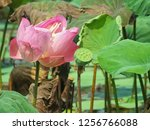 pink lotus flower in the nature | Shutterstock . vector #1256766088