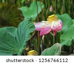 pink lotus flower in the nature | Shutterstock . vector #1256766112