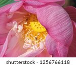 pink lotus flower in the nature | Shutterstock . vector #1256766118