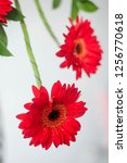 isolated red gerbera daisy on a ... | Shutterstock . vector #1256770618