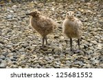 two seagull chicks standing on... | Shutterstock . vector #125681552
