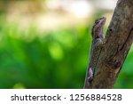 close up blue crested lizard... | Shutterstock . vector #1256884528