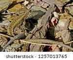 lizards in the mating season. | Shutterstock . vector #1257013765