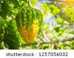 bitter melon  balsam pear ... | Shutterstock . vector #1257056032