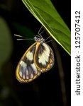 Transparent Ithomine Butterfly...