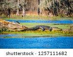 A Large American Crocodile In...
