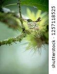 Copper Rumped Hummingbird ...