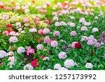 flowers in nature. | Shutterstock . vector #1257173992