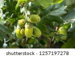 unripe acorns of a common oak ... | Shutterstock . vector #1257197278