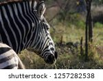 saw these zebra whilst visiting ... | Shutterstock . vector #1257282538