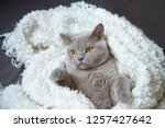 the lazy gray cat of breed the... | Shutterstock . vector #1257427642
