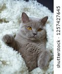 the lazy gray cat of breed the... | Shutterstock . vector #1257427645