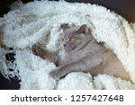 the lazy gray cat of breed the... | Shutterstock . vector #1257427648
