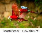 two red parrots in flight.... | Shutterstock . vector #1257500875