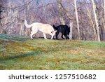 pair of german shepherds  on... | Shutterstock . vector #1257510682
