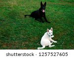 pair of german shepherds rest... | Shutterstock . vector #1257527605