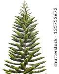 Norfolk Island Pine  Araucaria...