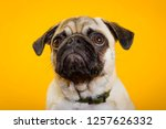 dog pug on a yellow background. ... | Shutterstock . vector #1257626332