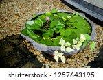 Lilypad Blooms on a Pot