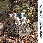 Annie The Beagle Basset Puppy...