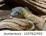dragon sniffing rocks  | Shutterstock . vector #1257822955