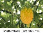 balsam apple  balsam pear ... | Shutterstock . vector #1257828748