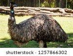 australian flightless native... | Shutterstock . vector #1257866302