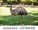second largest flightless bird... | Shutterstock . vector #1257866308
