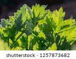 green celery leaves closeup ...   Shutterstock . vector #1257873682